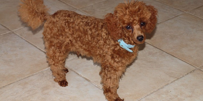 Stud Dog Charley Chippindall Toy Poodles